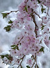Cherry blossoms - early snow
