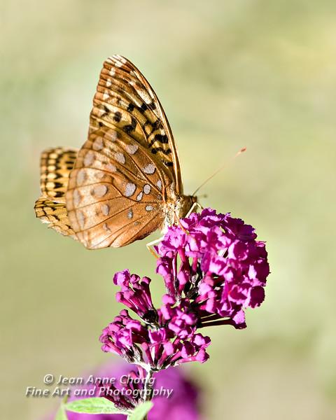 Butterfly on Butterfly Bush Blossom