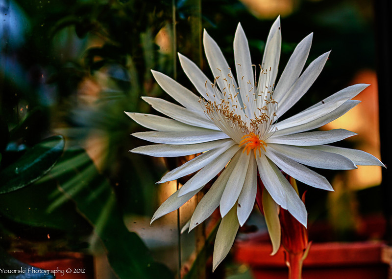 Night blooming Cereus. I was sitting outside the greenhouse waiting for this with my camera, tripod and flashlight ready.