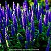 WNC Flowers0011