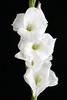 Gladiolas - White