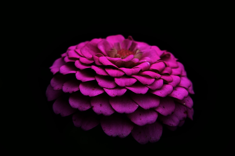 IMG_8017 pink close up