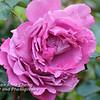 Pink Rose - 2