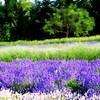 Mountainside Lavender Farm 4