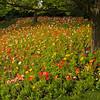 Icelandic poppies 0772