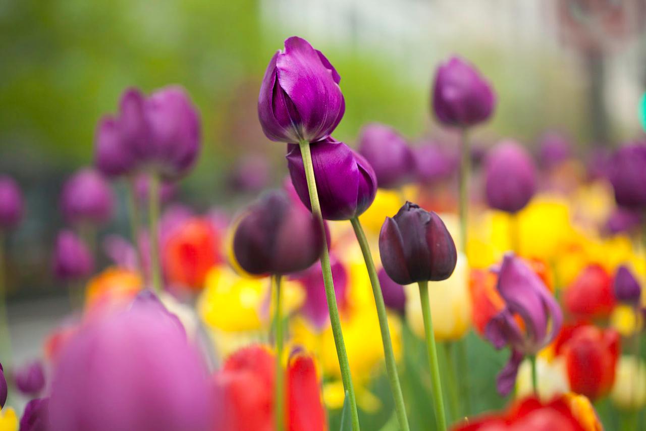 Tulips 7111