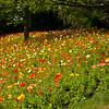 Icelandic poppies 0623