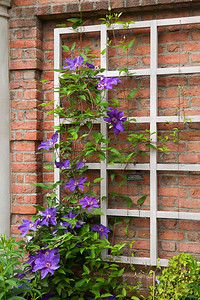Purple Clematis and trellis