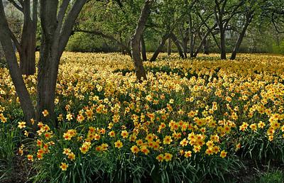 Daffodils, Chicago Botanic Garden