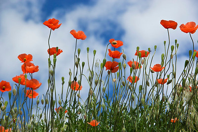Red Poppies and blue sky 213