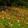 Icelandic poppies 0610