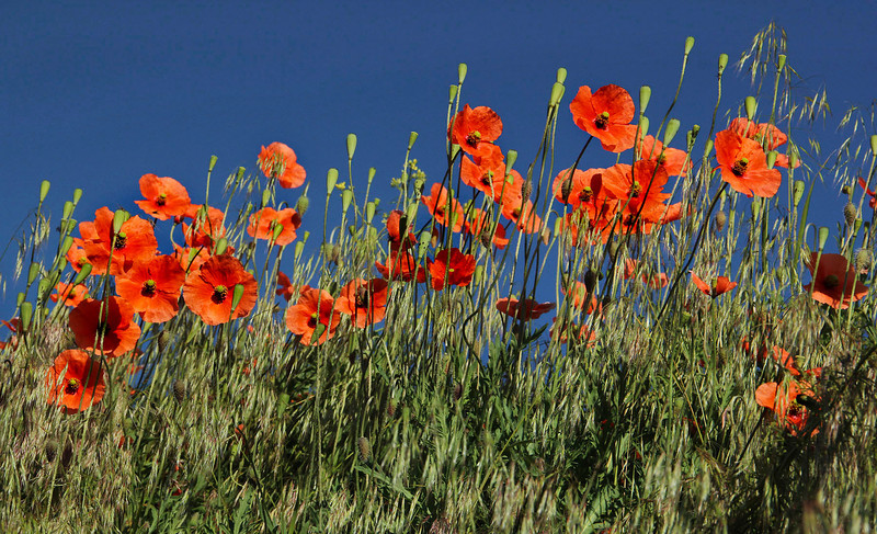 Red poppies, Washington, horizontal