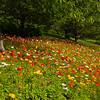 Icelandic poppies 0606