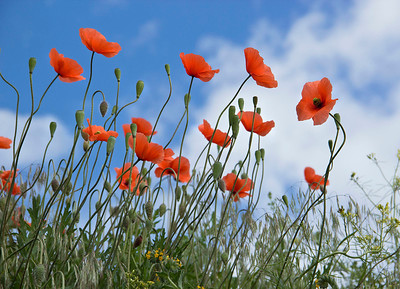 Red Poppies and blue sky 218