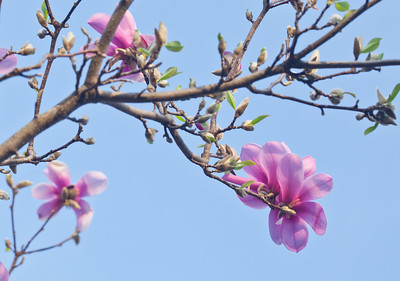 Magnolias 13 9251