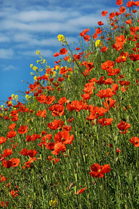 Red poppies, Washington, vertical