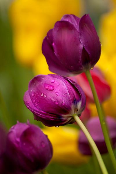 Purple tulips with raindrops