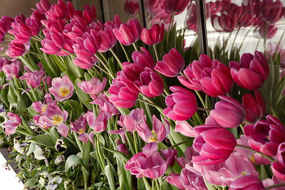 Tulips in window, Chicago