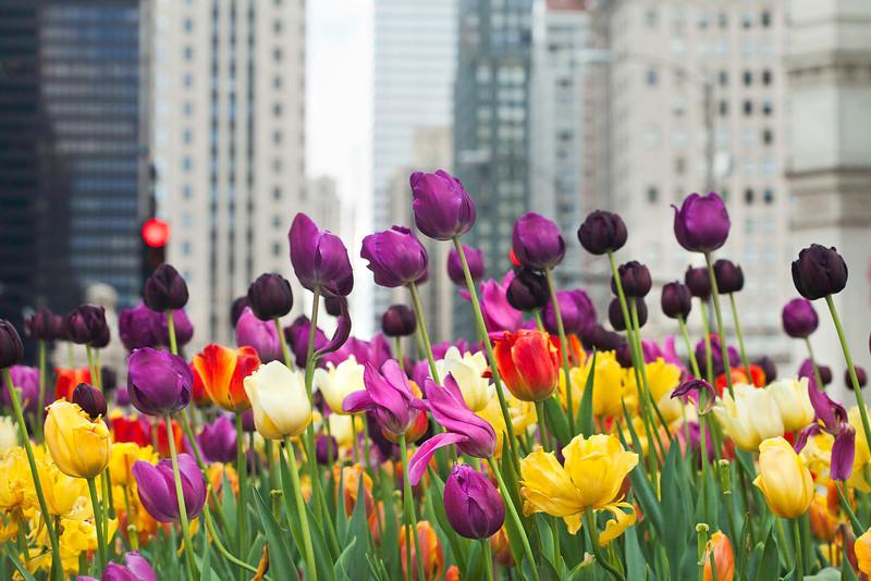 tulips 7027