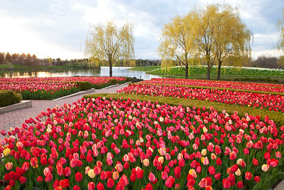 Red tulips with spring willows and daffodil island, Chicago Botanic Garden