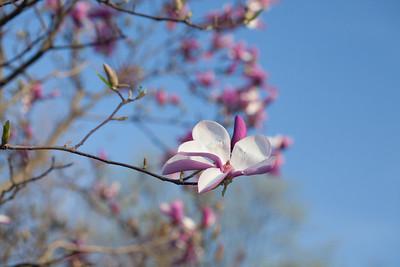 Magnolias13 9207
