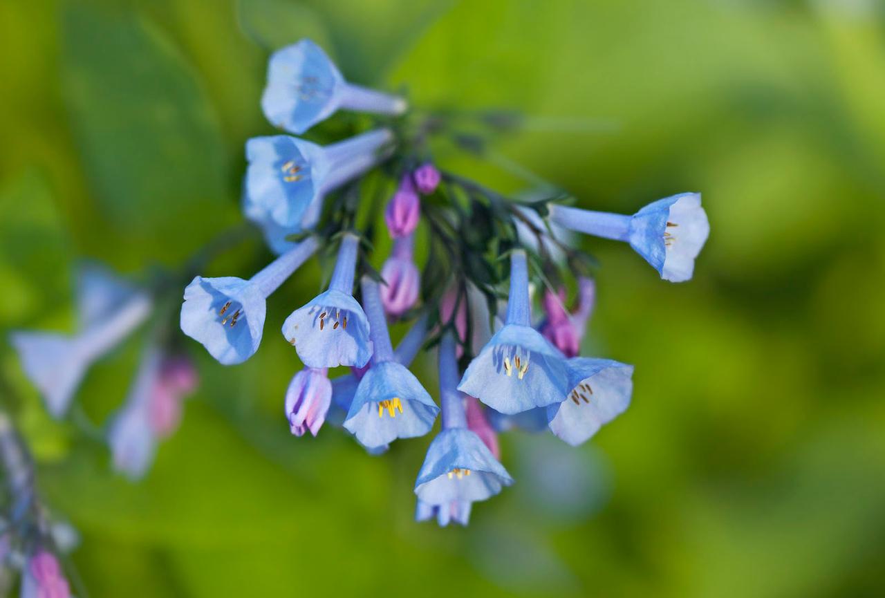 Virginia bluebells, Illinois