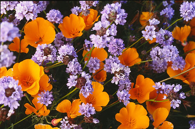 California poppies with blue flowers
