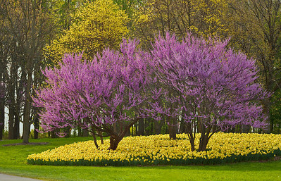 Redbuds and Daffodils, Morton Arboretum, Lisle, Illinois