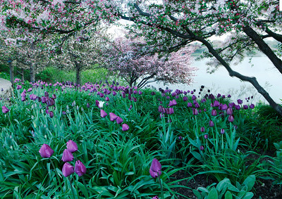 Tulips with Crabapple trees, Illinois