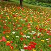 Icelandic Poppies 0583