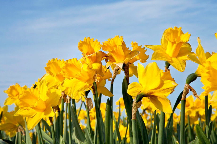 Daffodils 163
