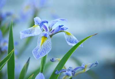 Blue Iris by the water
