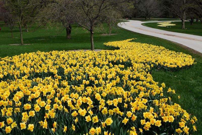Daffodil river, Morton Arboretum, Illinois