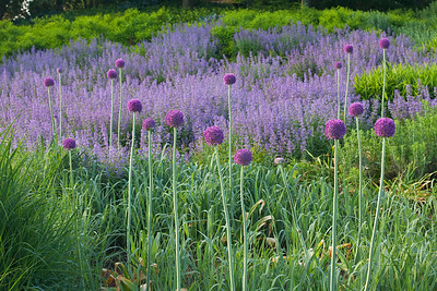 Purple Allium with grasses