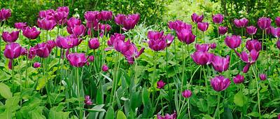 Purple tulip panorama