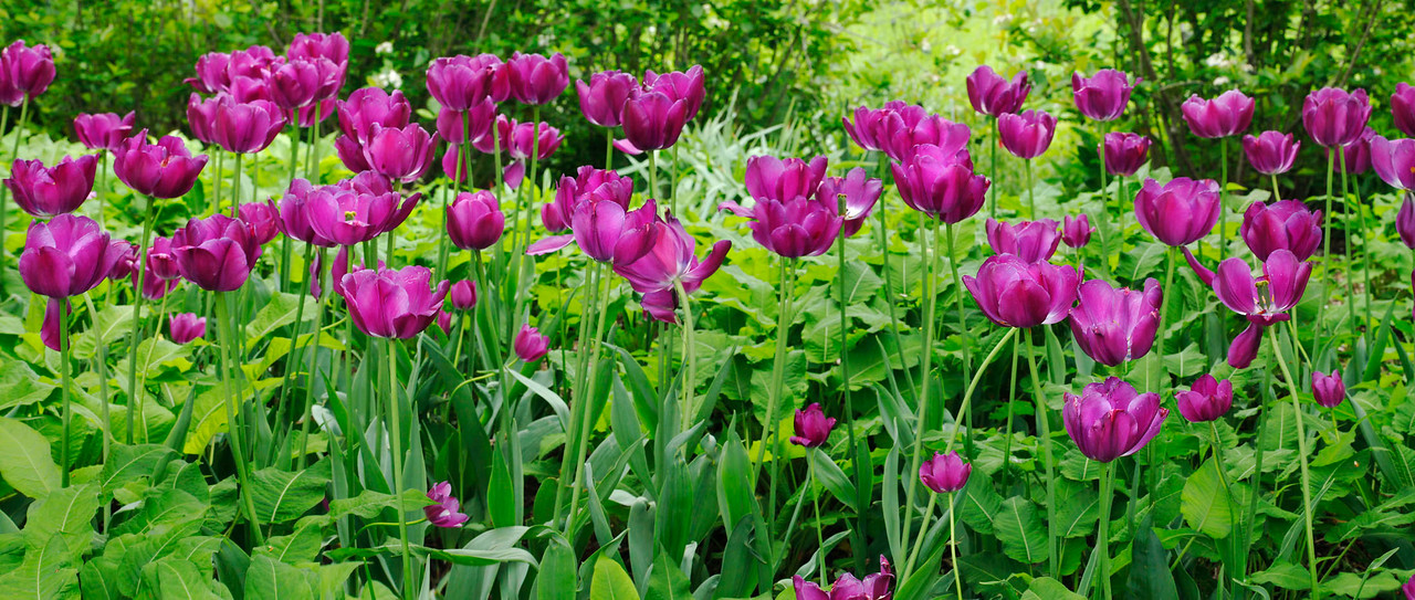 Purple tulip panorama