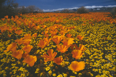 Poppy field, California
