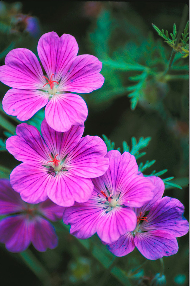 Wild purple geraniums
