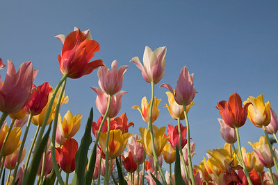 Reaching for the sky tulips