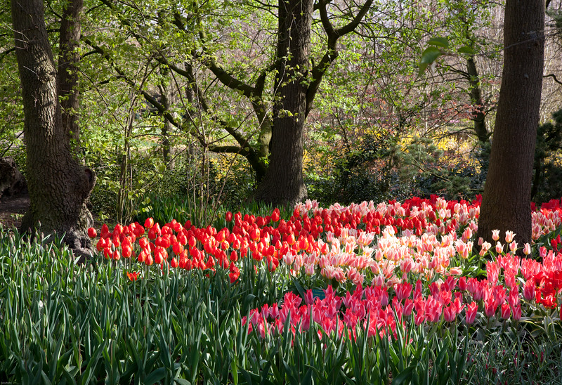 Trio of Shade Trees, Trio of Tulip Shades<br /> Keukenhof Gardens, The Netherlands