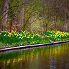 Daffodil Reflections<br /> Keukenhof Gardens, The Netherlands
