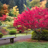 Red Glow<br /> Japanese Garden, Arboretum<br /> Seattle, Washington