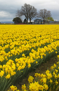 Sunny Daffs on a Gray Day Skagit Valley, Washington
