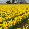 Sunny Daffs on a Gray Day<br /> Skagit Valley, Washington