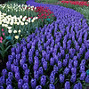 Purple River<br /> Keukenhof Gardens, The Netherlands