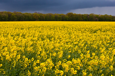 Yellow Canola Field waiting for Rain to Arrive France