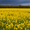 Yellow Canola Field waiting for Rain to Arrive<br /> France