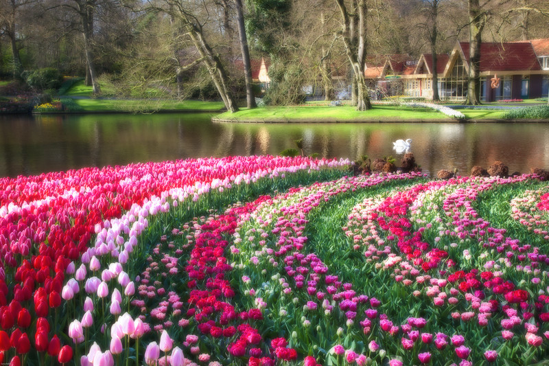 Swan Lake <br /> Keukenhof Gardens, The Netherlands.