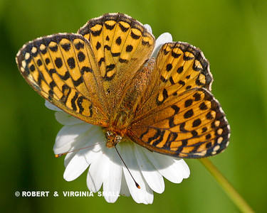 SILVER-BORDERED FRITILLARY BUTTERFLY ON A DAISY