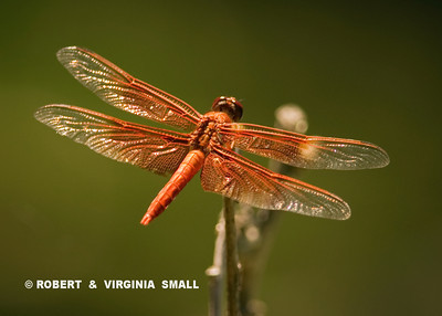 A NEON SKIMMER, BRIGHT, BEAUTIFUL AND SO APTLY NAMED